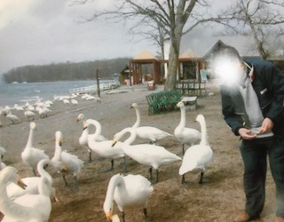 屈斜路湖の白鳥.jpg