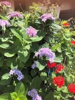 玄関の紫陽花も元気よく.jpg